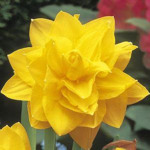 daffodil golden ducat variety