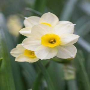 daffodil minnow