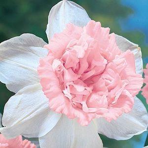 petit four daffodils