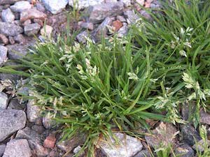 annual meadow grass weed