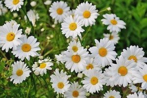 daisy garden weed