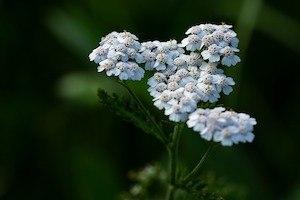 yarrow common garden weed