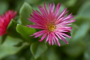 aptenia cordifolia that looks very similar to Mesembryanthemum